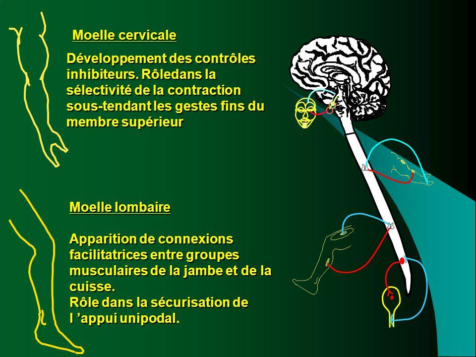 Moelle cervicale Développement des contrôles inhibiteurs. Rôledans la sélectivité de la contraction sous-tendant les gestes fins du membre supérieur M