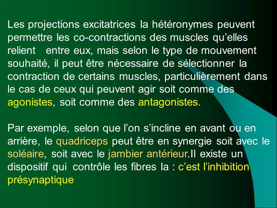 Les projections excitatrices Ia hétéronymes peuvent permettre les co-contractions des muscles qu'elles relient entre eux, mais selon le type de mouvem