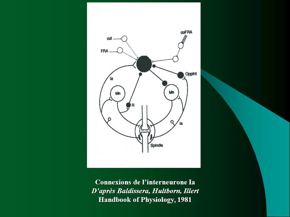Connexions de l'interneurone Ia D'après Baldissera, Hultborn, Illert Handbook of Physiology, 1981