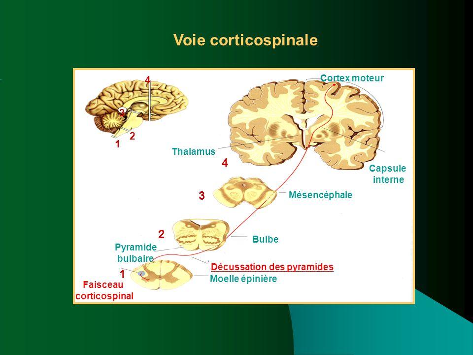 Voie corticospinale Moelle épinière Cortex moteur Mésencéphale Décussation des pyramides Bulbe Pyramide bulbaire Faisceau corticospinal Capsule intern