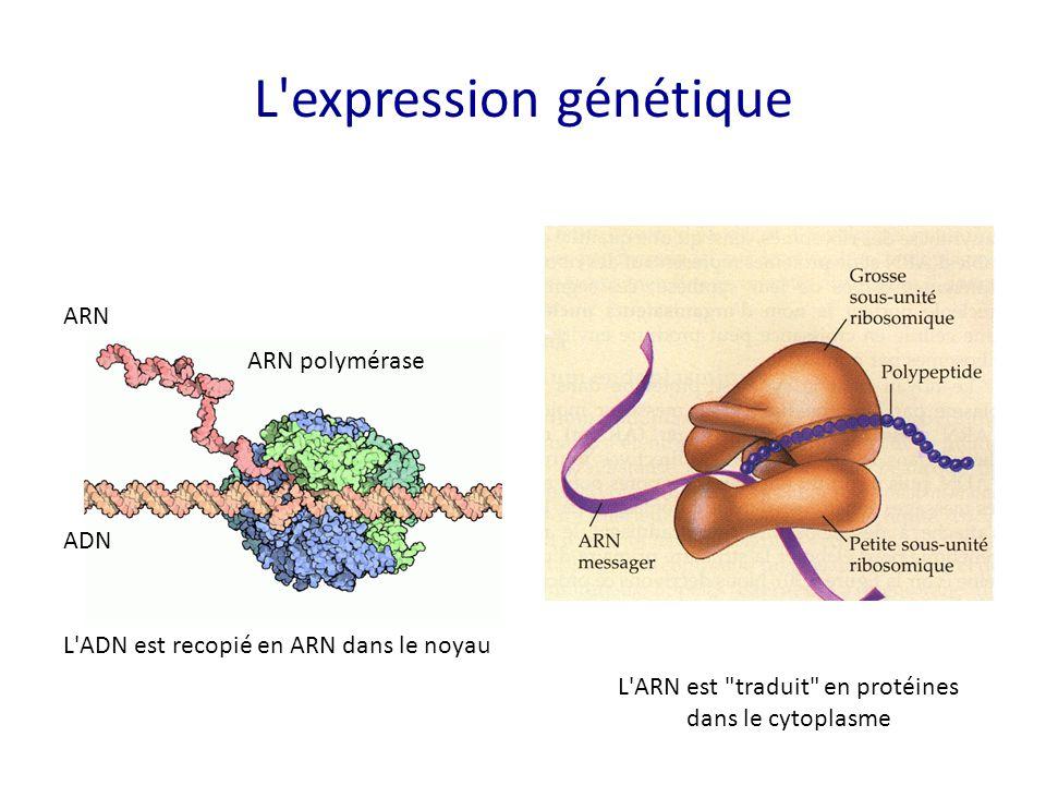 L'expression génétique ARN ADN L'ADN est recopié en ARN dans le noyau L'ARN est