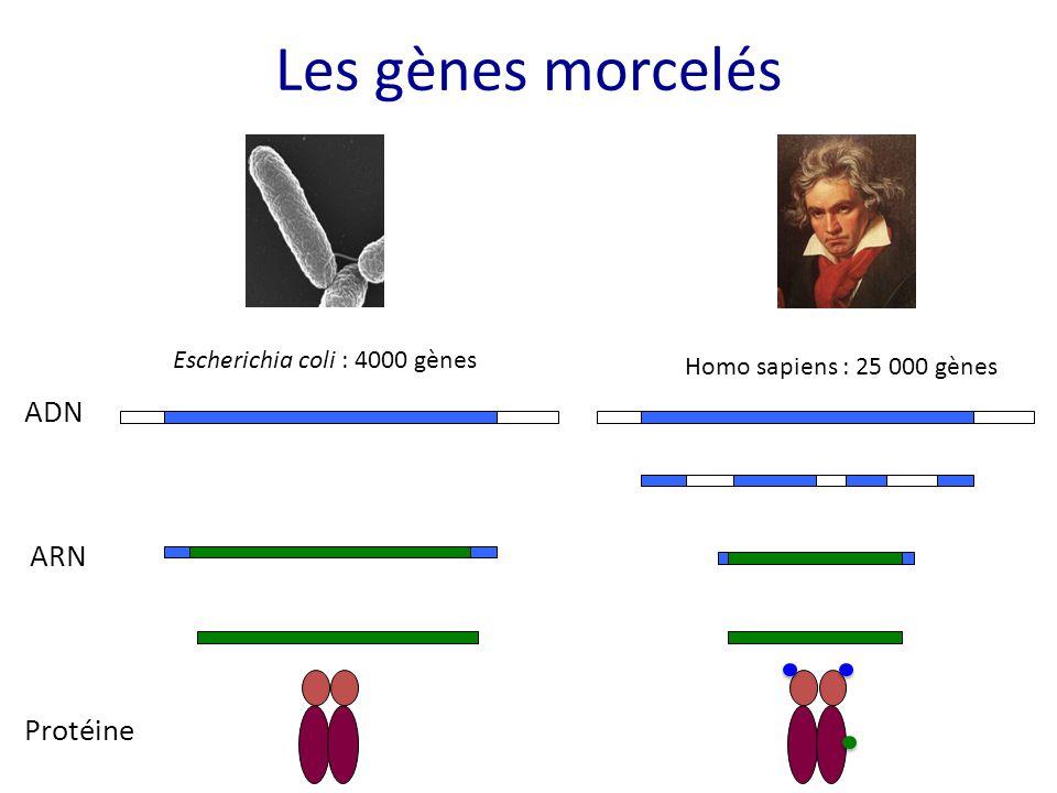 Les gènes morcelés Escherichia coli : 4000 gènes Homo sapiens : 25 000 gènes ADN ARN Protéine
