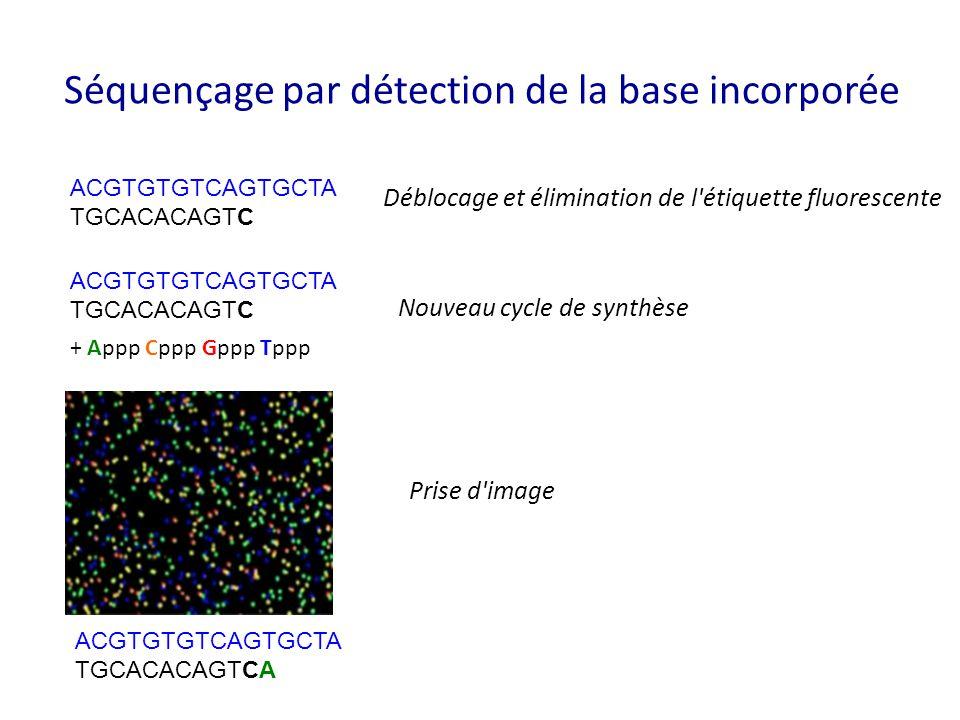 Séquençage par détection de la base incorporée ACGTGTGTCAGTGCTA TGCACACAGTC Déblocage et élimination de l'étiquette fluorescente ACGTGTGTCAGTGCTA TGCA