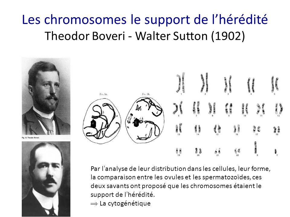 Les chromosomes le support de l'hérédité Theodor Boveri - Walter Sutton (1902) Par l ' analyse de leur distribution dans les cellules, leur forme, la