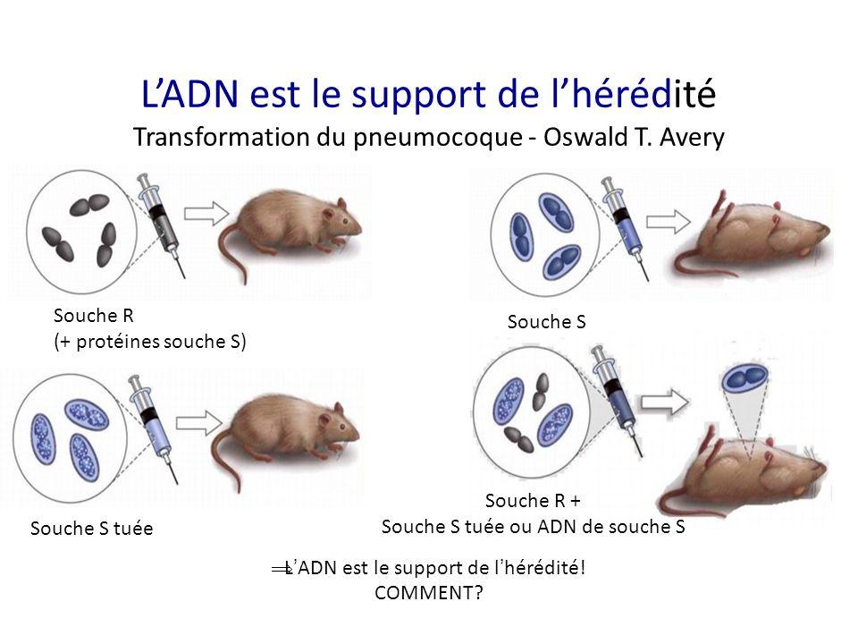 L'ADN est le support de l'hérédité Transformation du pneumocoque - Oswald T. Avery  L ' ADN est le support de l ' hérédité! COMMENT? Souche R (+ prot