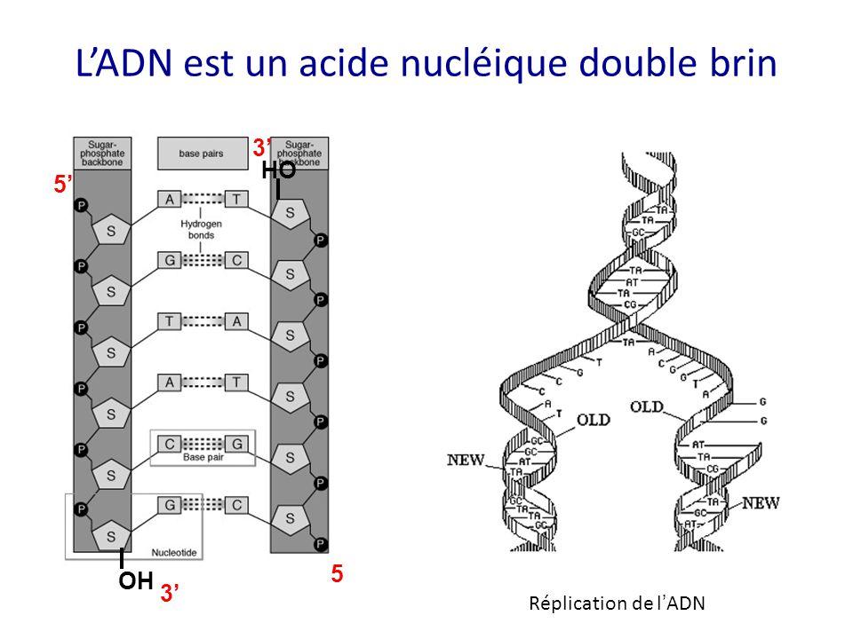 L'ADN est un acide nucléique double brin 5' 3' OH 5' 3' OH Réplication de l ' ADN
