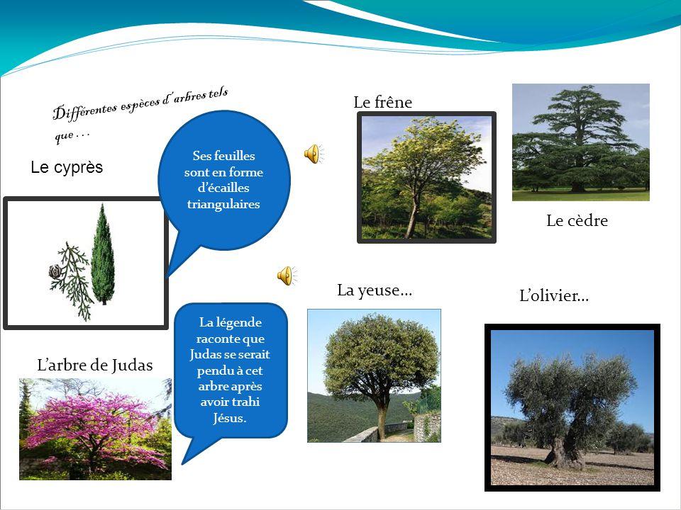 Différentes espèces d'arbres tels que … Le cyprès Ses feuilles sont en forme d'écailles triangulaires Le frêne L'arbre de Judas La légende raconte que Judas se serait pendu à cet arbre après avoir trahi Jésus.
