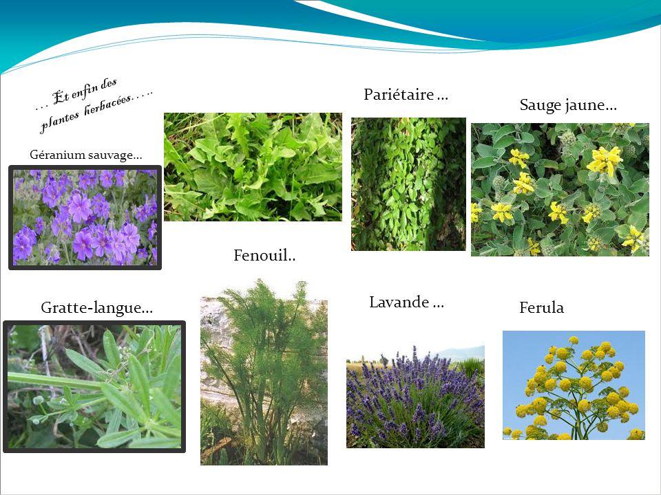 … Et enfin des plantes herbacées….. Géranium sauvage… Gratte-langue… … Fenouil.. Pariétaire … Lavande … Sauge jaune… Ferula
