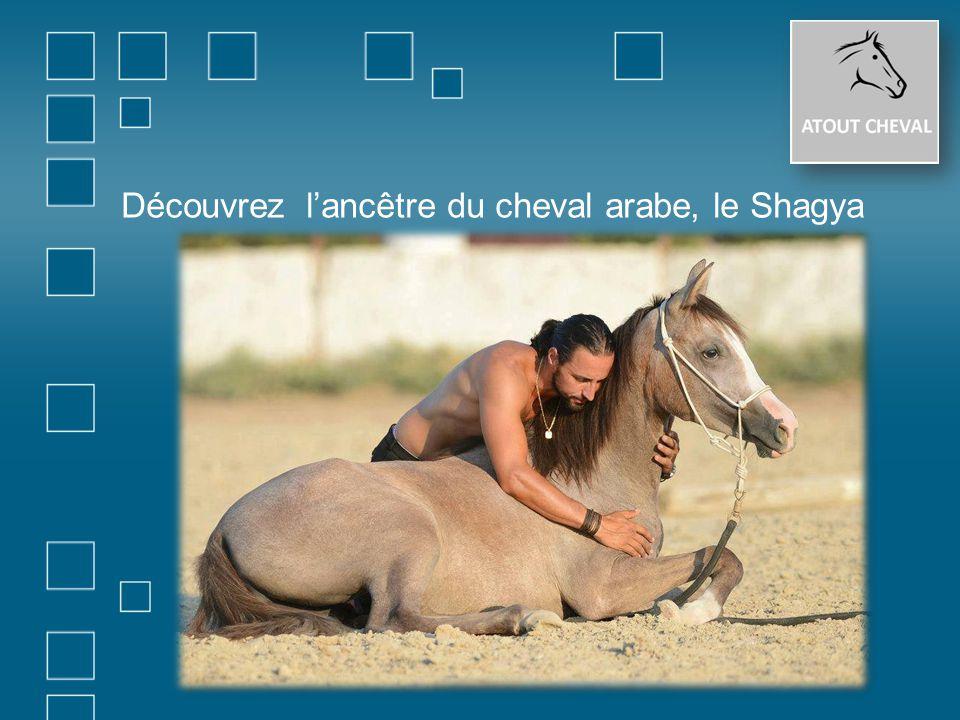 Découvrez l'ancêtre du cheval arabe, le Shagya