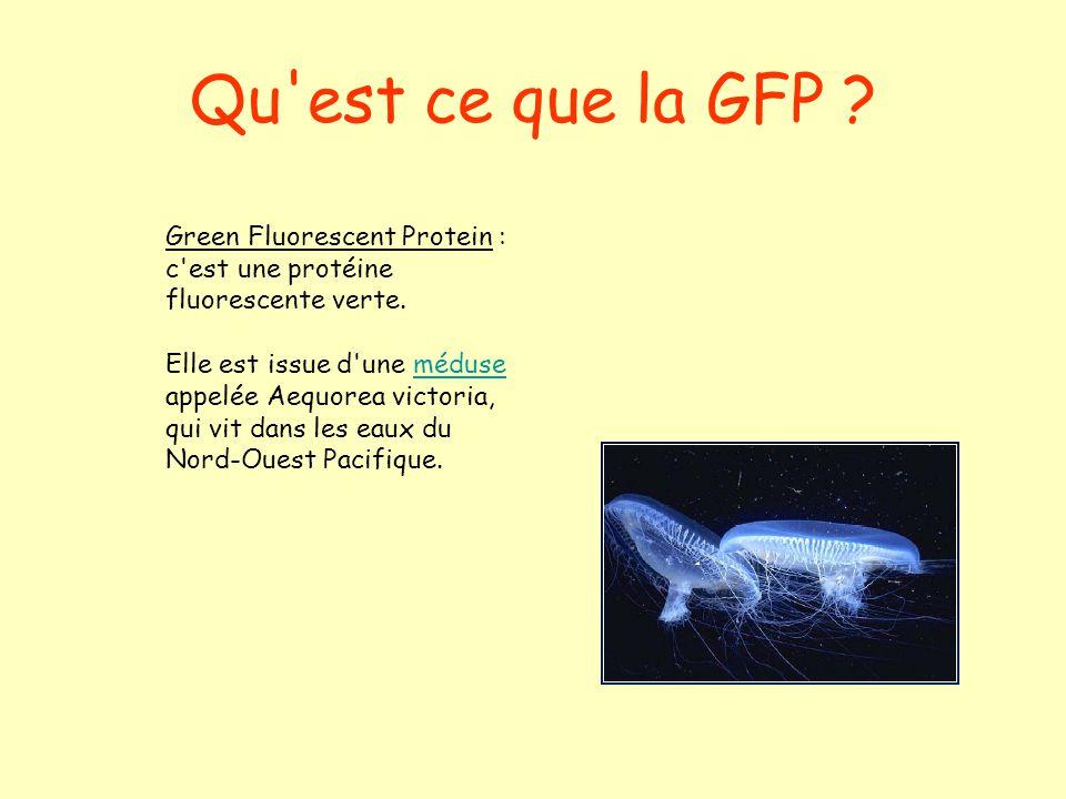 Qu'est ce que la GFP ? Green Fluorescent Protein : c'est une protéine fluorescente verte. Elle est issue d'une méduse appelée Aequorea victoria, qui v