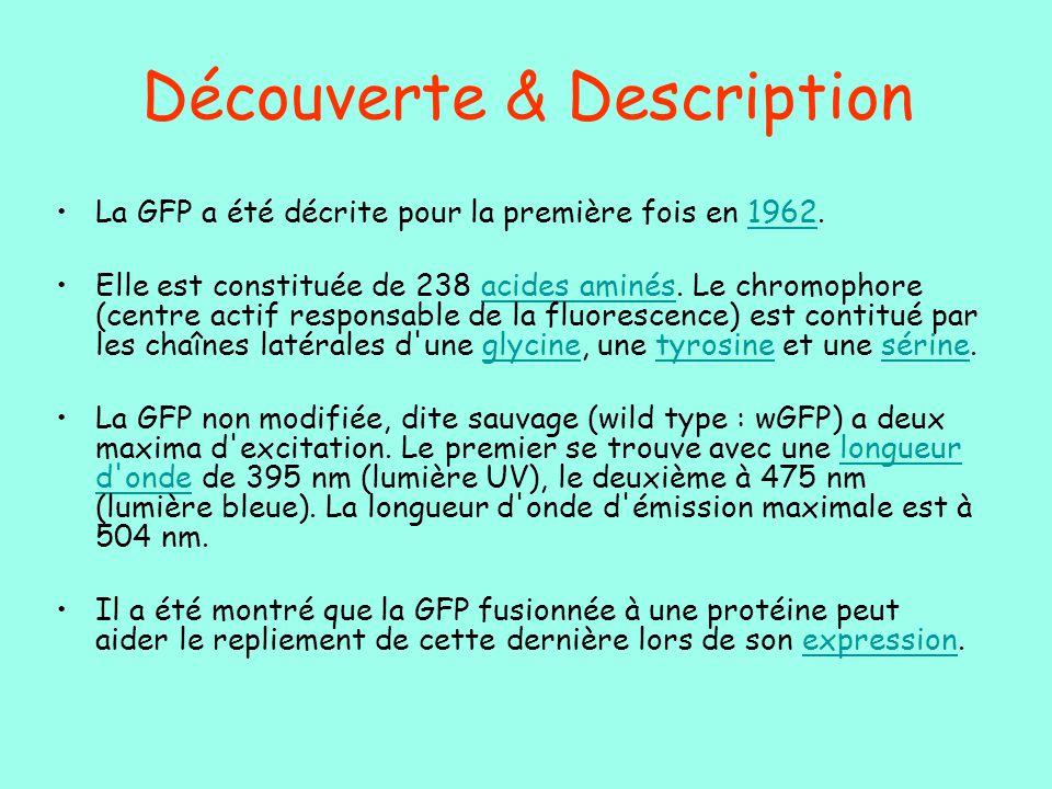 Découverte & Description La GFP a été décrite pour la première fois en 1962.1962 Elle est constituée de 238 acides aminés. Le chromophore (centre acti