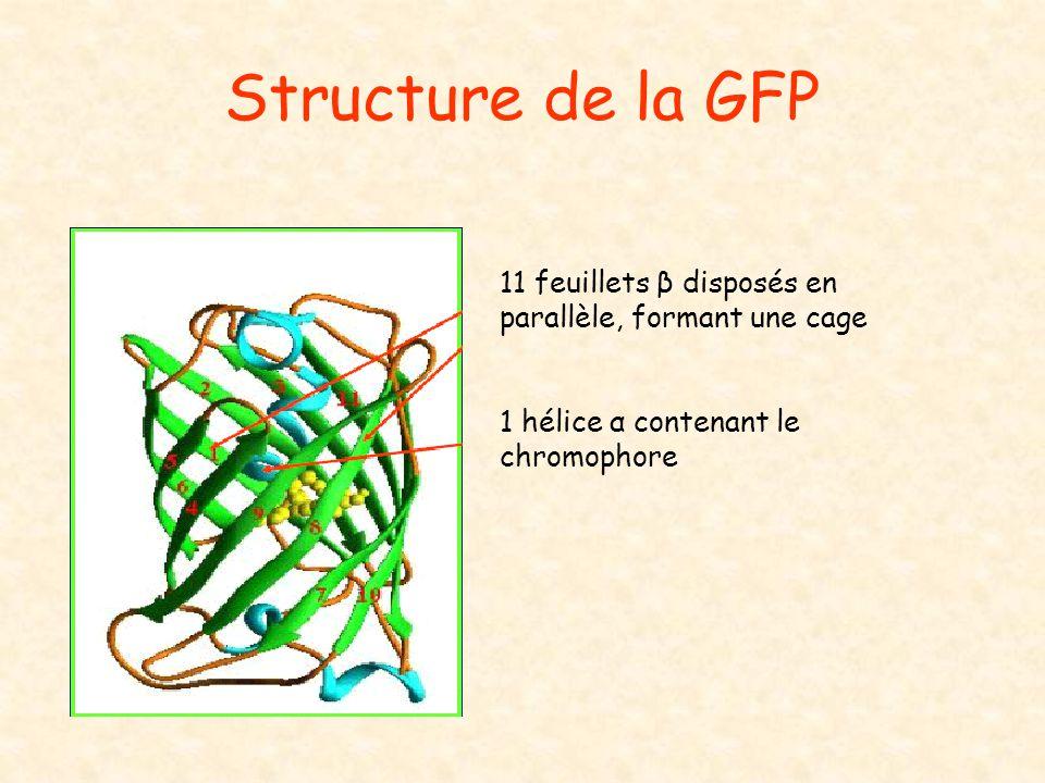 Structure de la GFP 11 feuillets β disposés en parallèle, formant une cage 1 hélice α contenant le chromophore