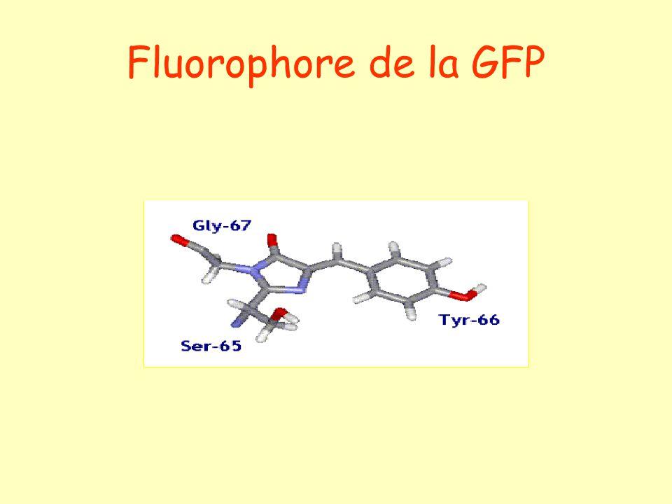 Fluorophore de la GFP