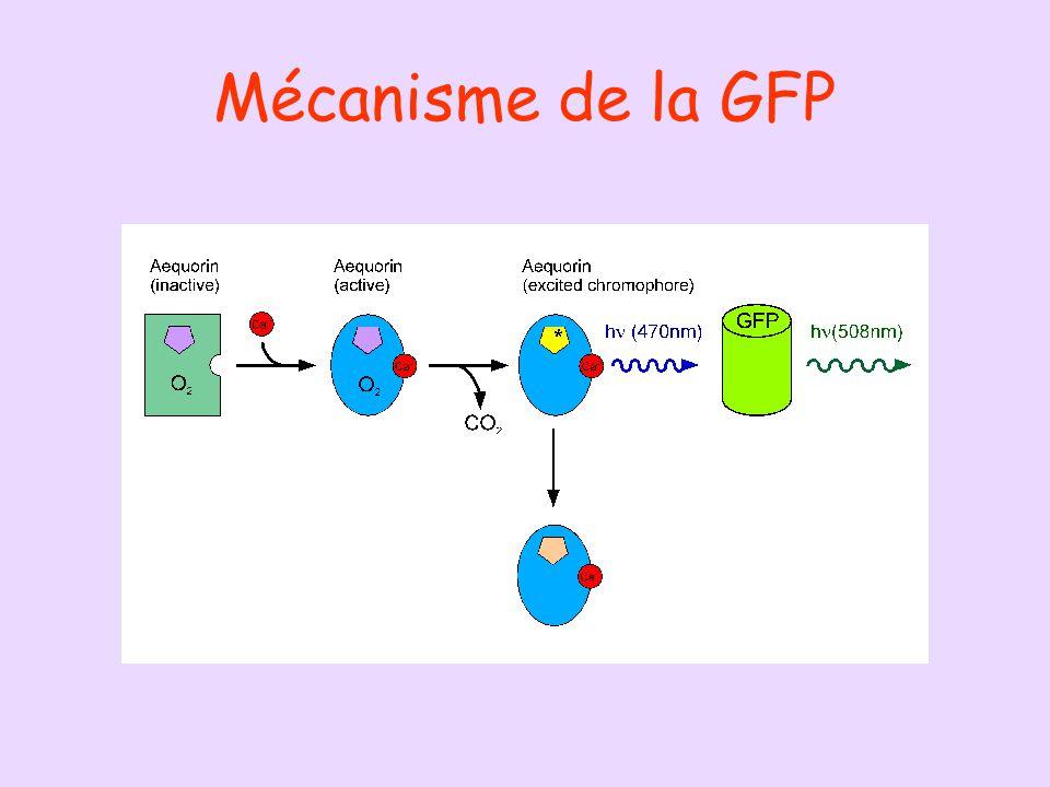 Mécanisme de la GFP