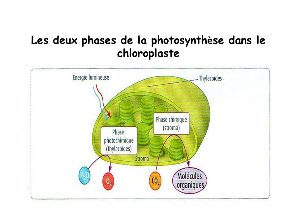 Les deux phases de la photosynth è se dans le chloroplaste