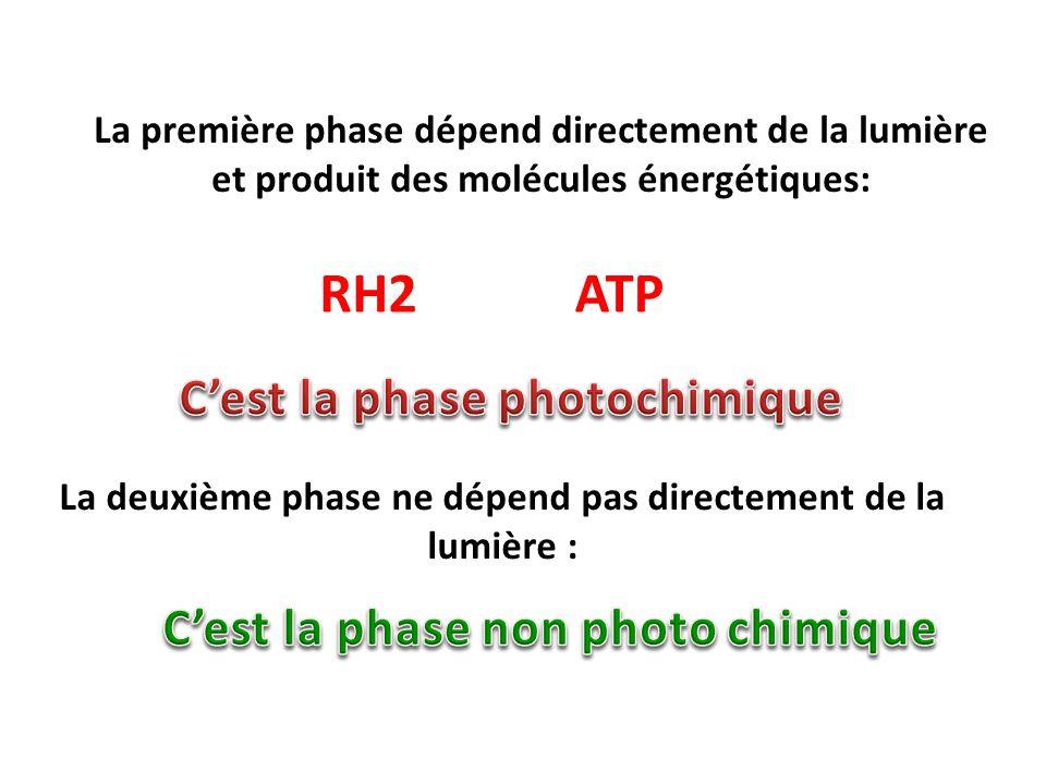 La première phase dépend directement de la lumière et produit des molécules énergétiques: RH2ATP La deuxième phase ne dépend pas directement de la lumière :