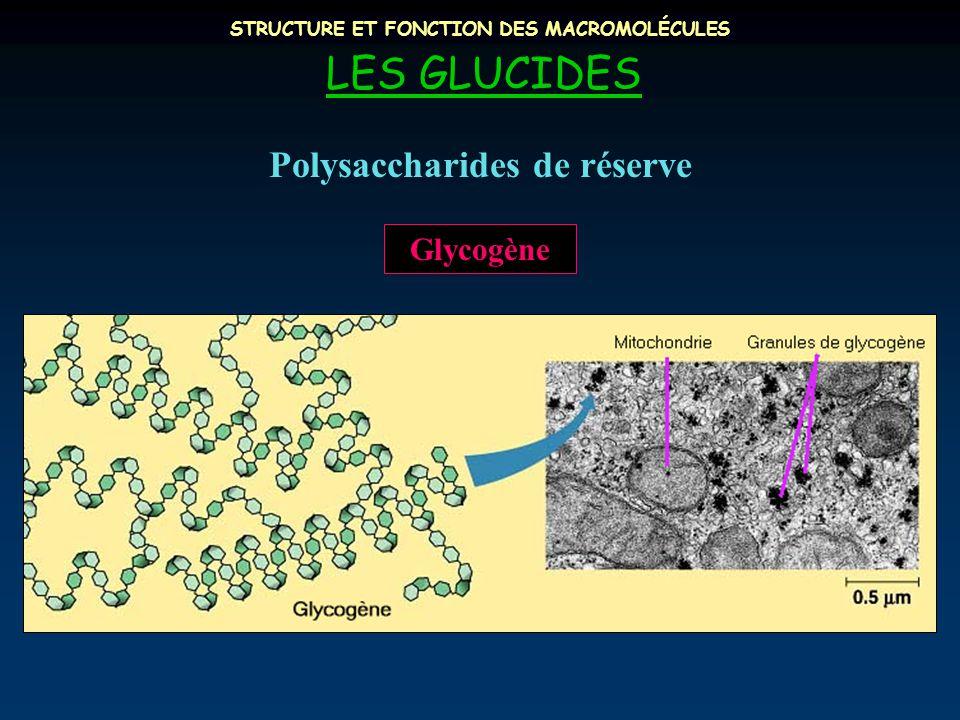 STRUCTURE ET FONCTION DES MACROMOLÉCULES LES GLUCIDES Polysaccharides de réserve Glycogène