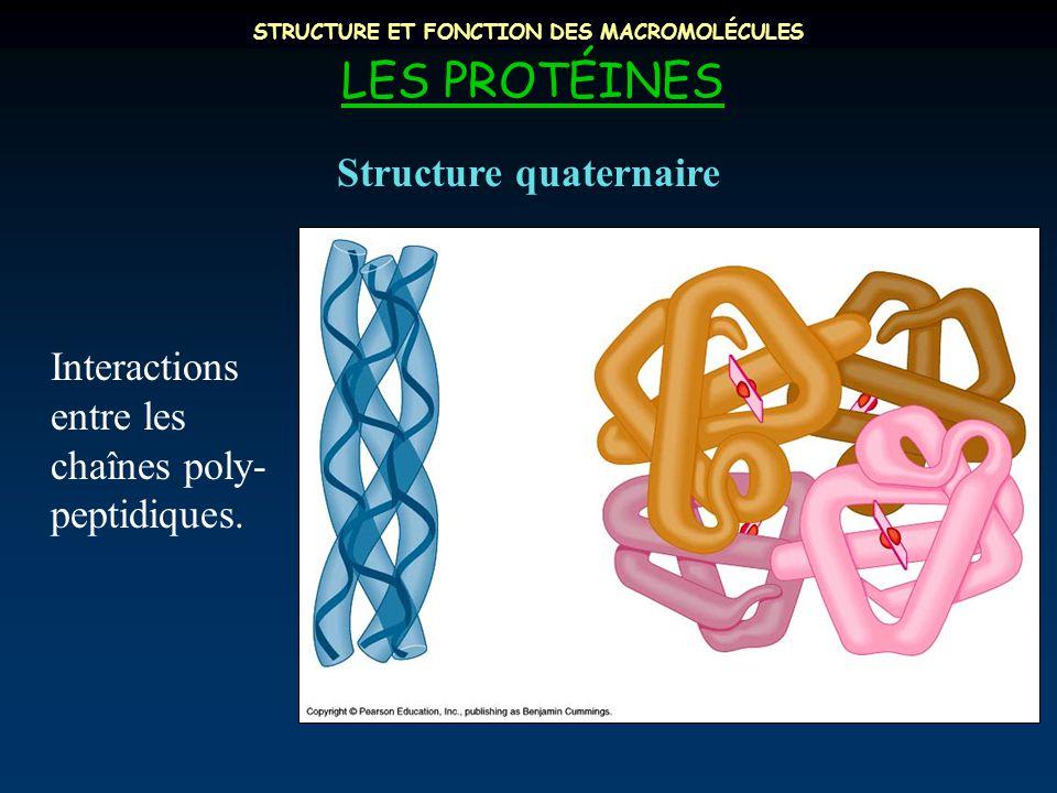 STRUCTURE ET FONCTION DES MACROMOLÉCULES LES PROTÉINES Interactions entre les chaînes poly- peptidiques.
