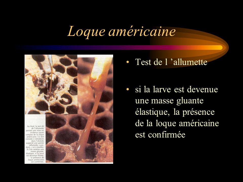 Loque américaine Test de l 'allumette si la larve est devenue une masse gluante élastique, la présence de la loque américaine est confirmée
