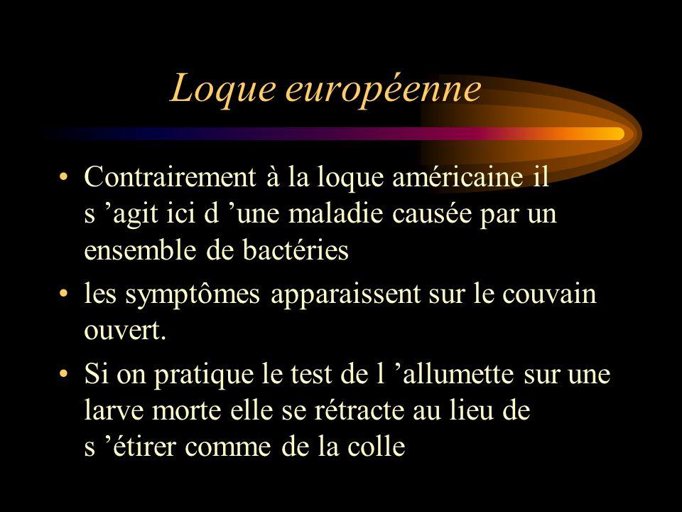 Loque européenne Contrairement à la loque américaine il s 'agit ici d 'une maladie causée par un ensemble de bactéries les symptômes apparaissent sur le couvain ouvert.