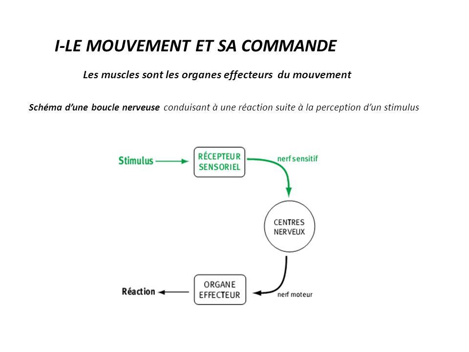 Les muscles sont les organes effecteurs du mouvement Schéma d'une boucle nerveuse conduisant à une réaction suite à la perception d'un stimulus I-LE MOUVEMENT ET SA COMMANDE