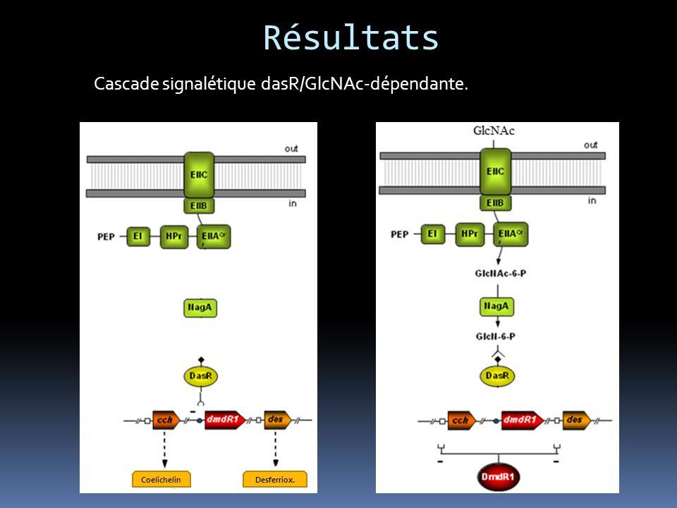 Résultats Validation in vivo. 1) Test CAS : M152 (∆actII-4 ∆redD) 36 h 48 h 72h R2YE R2YE + GlcNAc