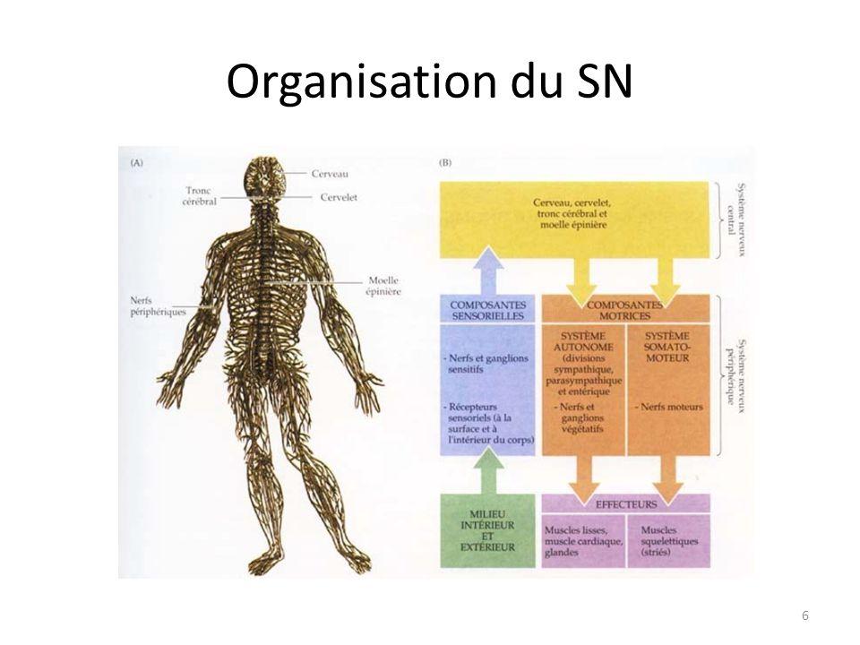 Système nerveux : Plan Introduction Organisation du système nerveux Fonctionnement du neurone et influx nerveux Effets des psychotropes Rôle du SN dans le comportement Dysfonctionnements du SN Quizz FT1 : LA schizophrénie et ses conséquences 17