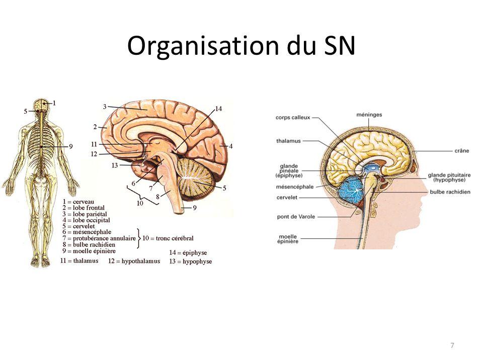 Système nerveux et rôles Système complexe (nombreuses fonctions) Composé de centres nerveux (intégrer et émettre des informations) Assure la perception, la coordination des mouvements et le contrôle de l'activité cardiorespiratoire Constitué de milliards de neurones Partie du système nerveux Constitué de trois grandes parties : SNC avec encéphale et moelle épinière SNP avec les nerfs groupés en crâniens rachidiens.