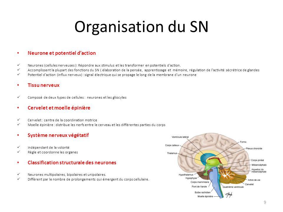 Organisation du SN Neurone et potentiel d'action Neurones (cellules nerveuses ): Répondre aux stimulus et les transformer en potentiels d'action. Acco