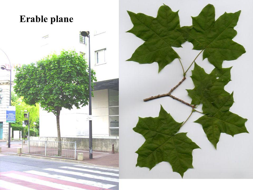 Erable plane