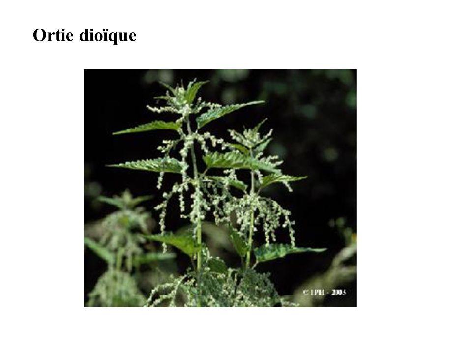 Ortie dioïque