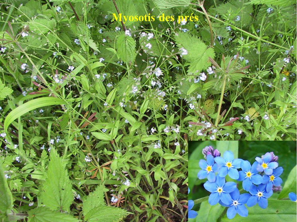 Myosotis des prés