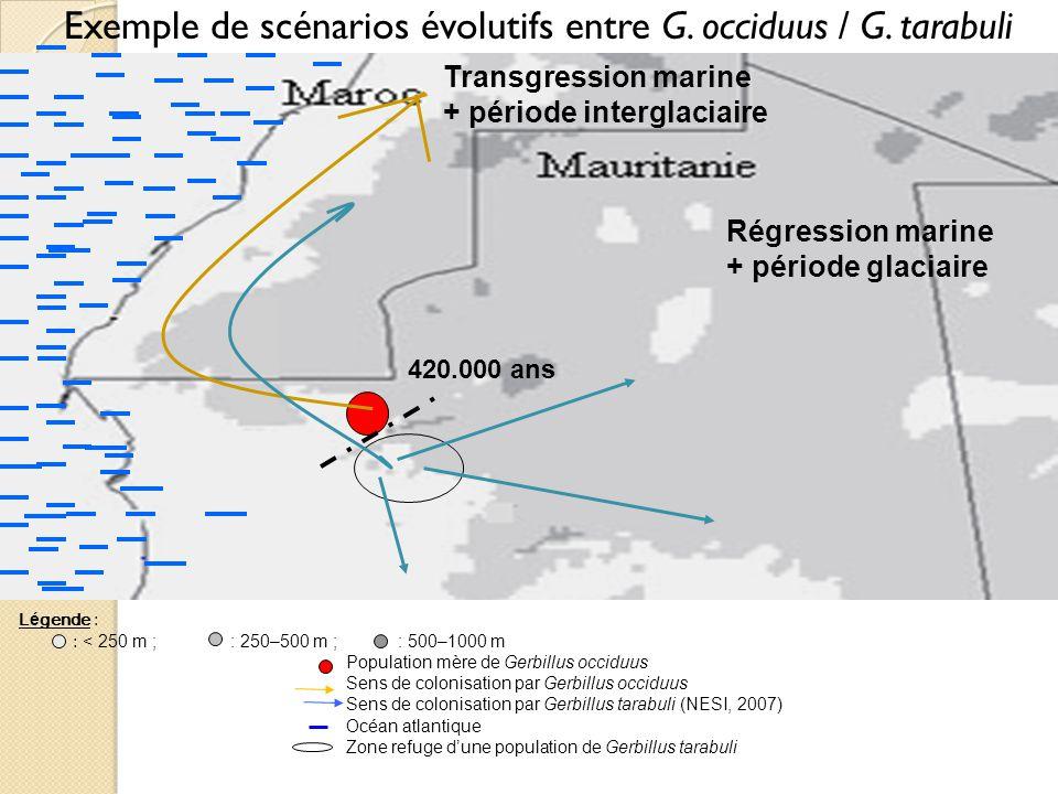 Exemple de scénarios évolutifs entre G. occiduus / G. tarabuli Transgression marine + période interglaciaire Régression marine + période glaciaire L é