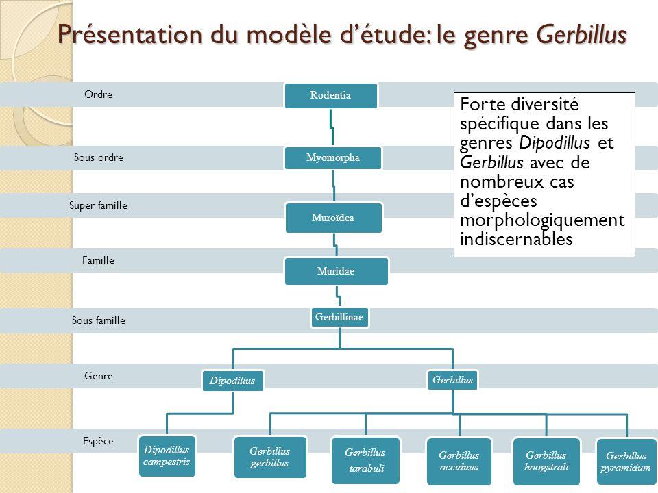 Présentation du modèle d'étude: le genre Gerbillus Espèce Genre Sous famille Famille Super famille Sous ordre Ordre Rodentia Myomorpha Muroïdea Murida