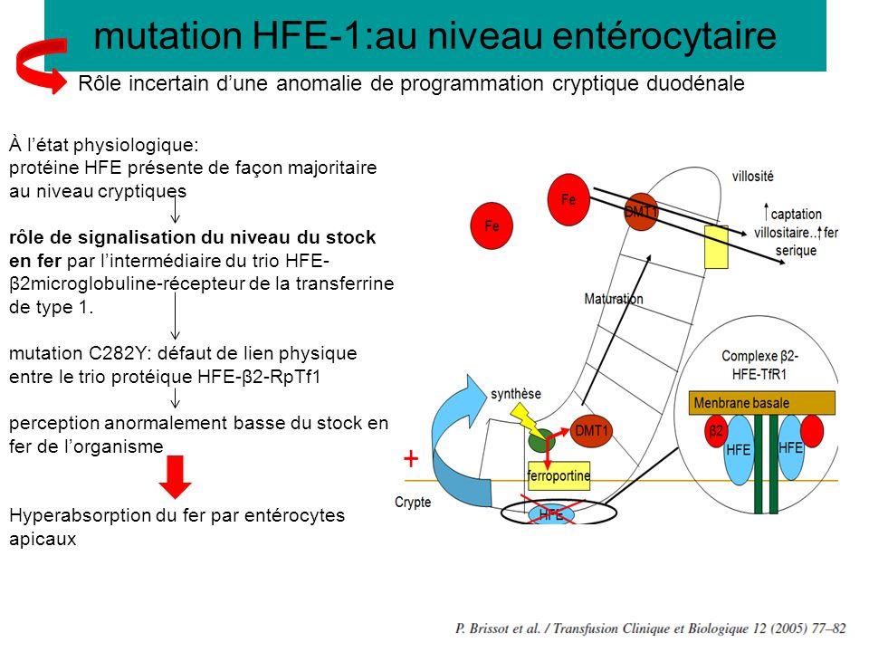 mutation HFE-1:au niveau entérocytaire À l'état physiologique: protéine HFE présente de façon majoritaire au niveau cryptiques rôle de signalisation d