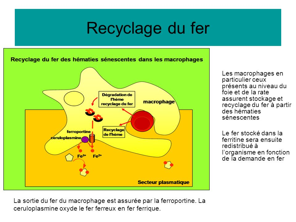 Recyclage du fer Les macrophages en particulier ceux présents au niveau du foie et de la rate assurent stockage et recyclage du fer à partir des hémat