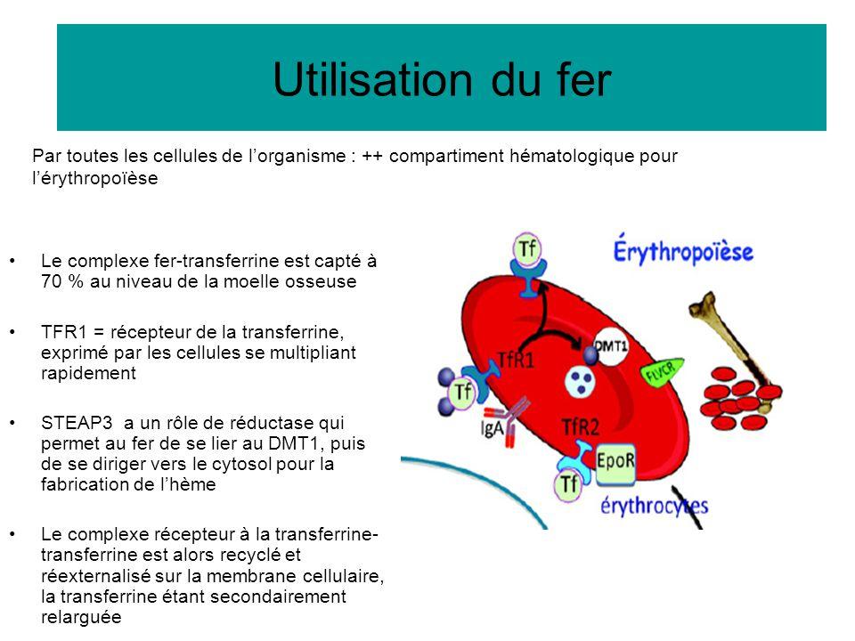 Utilisation du fer Le complexe fer-transferrine est capté à 70 % au niveau de la moelle osseuse TFR1 = récepteur de la transferrine, exprimé par les c