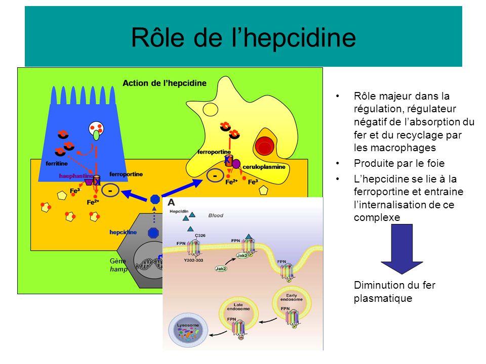 Rôle de l'hepcidine Rôle majeur dans la régulation, régulateur négatif de l'absorption du fer et du recyclage par les macrophages Produite par le foie