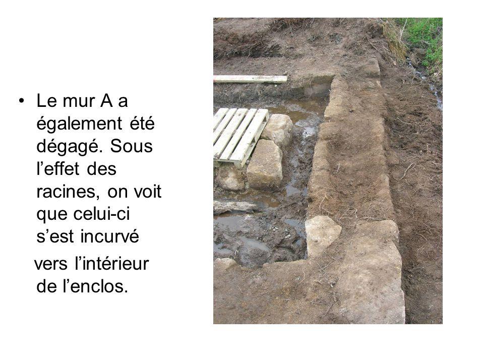 Le mur A a également été dégagé. Sous l'effet des racines, on voit que celui-ci s'est incurvé vers l'intérieur de l'enclos.