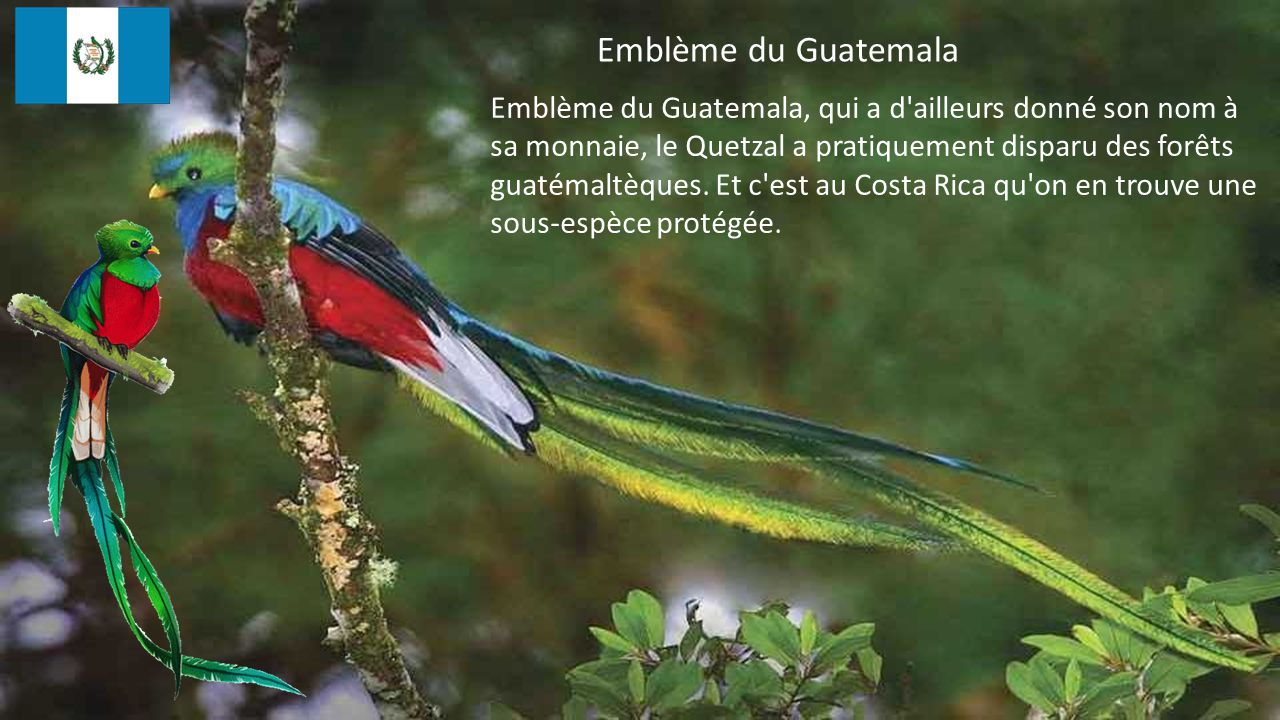 Emblème du Guatemala, qui a d ailleurs donné son nom à sa monnaie, le Quetzal a pratiquement disparu des forêts guatémaltèques.
