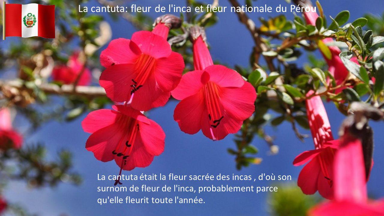 La cantuta: fleur de l inca et fleur nationale du Pérou La cantuta était la fleur sacrée des incas, d où son surnom de fleur de l inca, probablement parce qu elle fleurit toute l année.