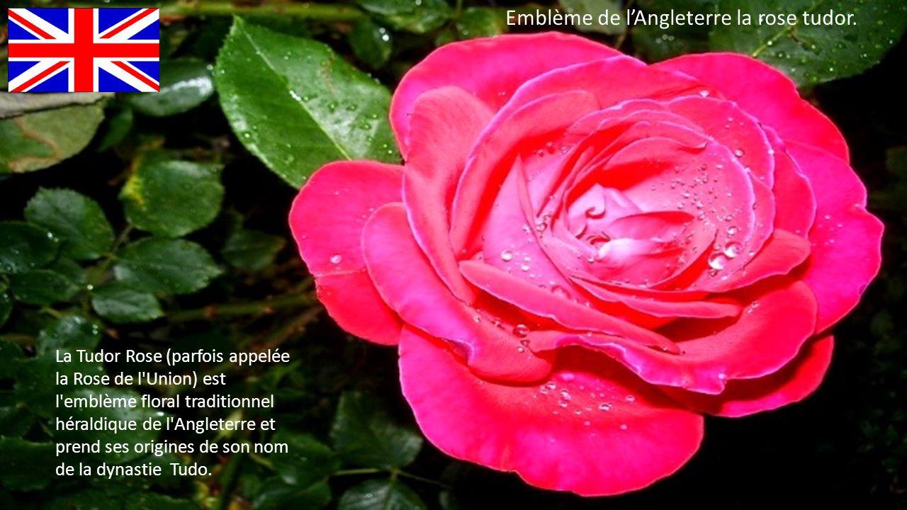 La Tudor Rose (parfois appelée la Rose de l Union) est l emblème floral traditionnel héraldique de l Angleterre et prend ses origines de son nom de la dynastie Tudo.