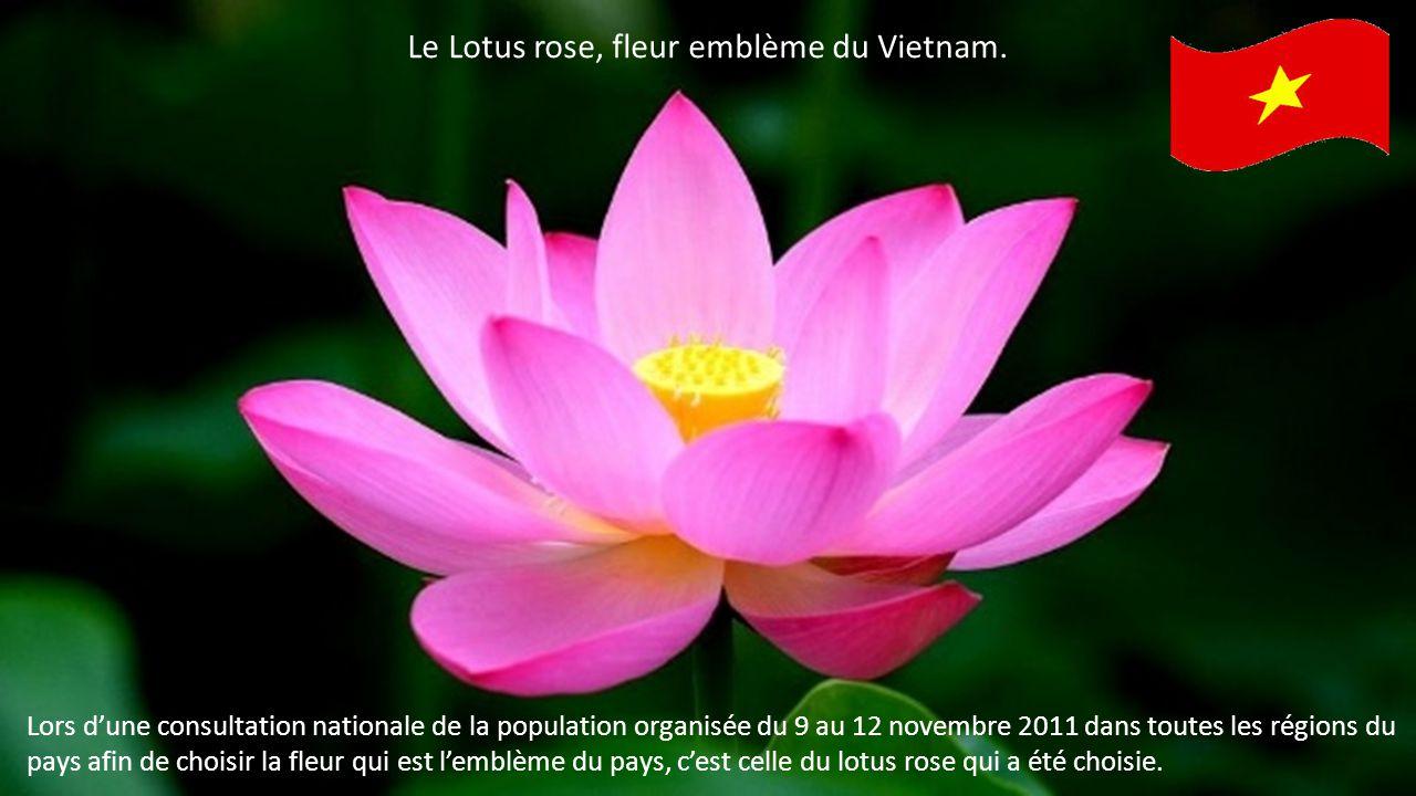Le Lotus rose, fleur emblème du Vietnam.