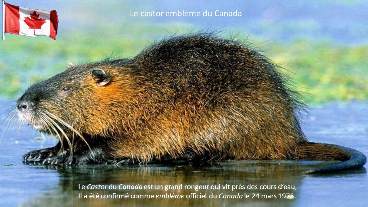 Le Castor du Canada est un grand rongeur qui vit près des cours d'eau, Il a été confirmé comme emblème officiel du Canada le 24 mars 1975.