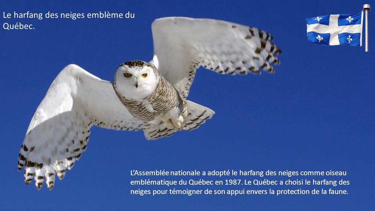 Le harfang des neiges emblème du Québec.