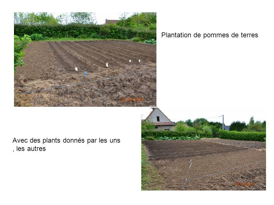 Plantation de pommes de terres Avec des plants donnés par les uns, les autres
