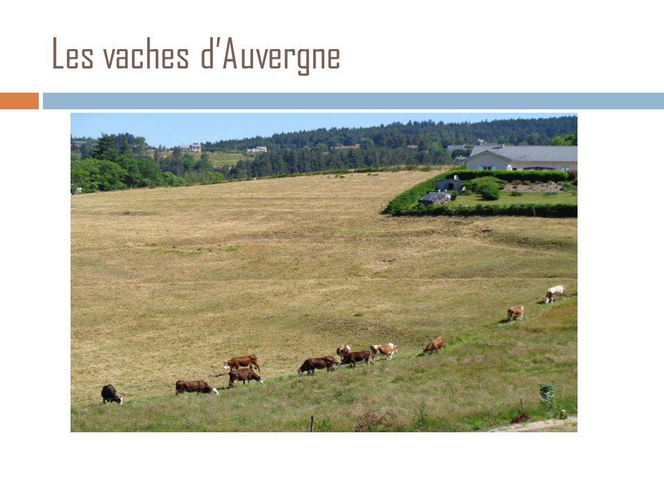 Les vaches d'Auvergne