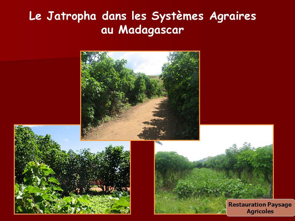 Le Jatropha dans les Systèmes Agraires au Madagascar Restauration Paysage Agricoles