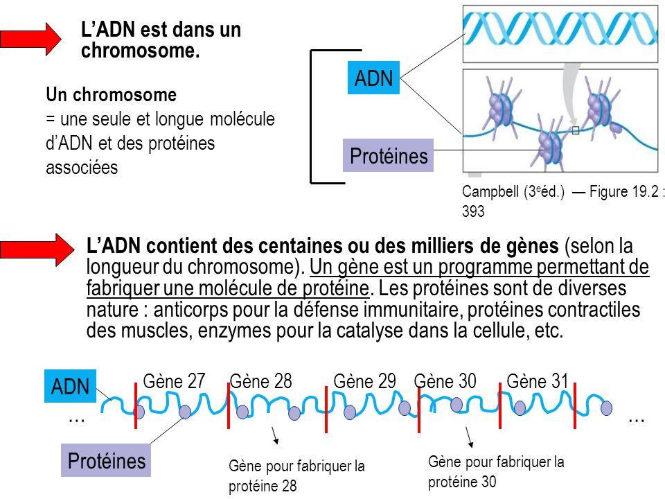 L'ADN est dans un chromosome. Un chromosome = une seule et longue molécule d'ADN et des protéines associées Campbell (3 e éd.) — Figure 19.2 : 393 ADN