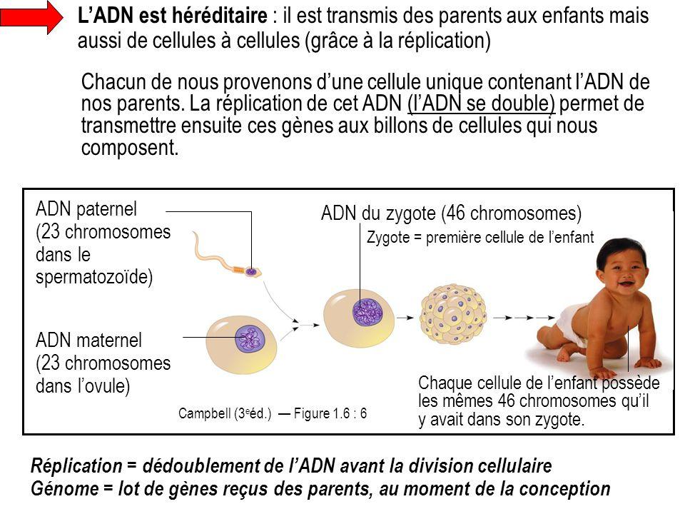 L'ADN est héréditaire : il est transmis des parents aux enfants mais aussi de cellules à cellules (grâce à la réplication) Réplication = dédoublement
